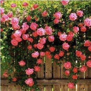 Loss Promotion 50 seedspack Rose flower seedling seed rose plants balcony bonsai plants flower seeds rose seeds