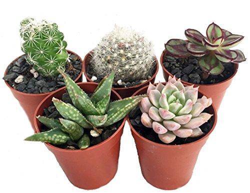 CactusSucculent TerrariumFairy Garden Plants - 5 Different Plants - 175 Pots
