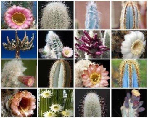 MIX Columnar cacti outdoor rare cactus garden tall cereus flower seed 100 SEEDS