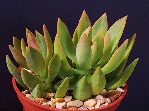 Sedum nussbaumerianum rare succulent air plant cactus garden exotic aloe 4 pot