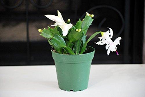 9GreenBox - White Christmas Cactus Plant - Zygocactus - 4 Pot