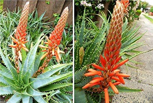 25 Seeds - TREE ALOE Seeds Aloe arborescens Flowering Succulent- PERENNIAL MEDICINE PLANT