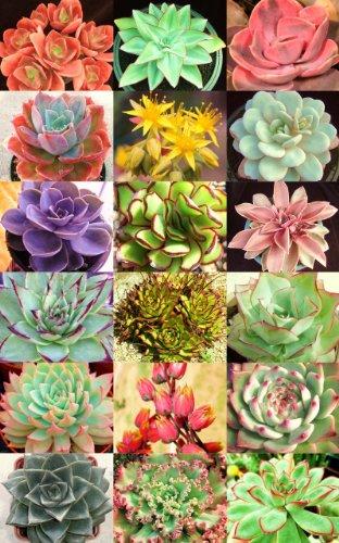 ECHEVERIA Variety Mix Sold By EXOTIC CACTUS Exotic Rare Flowering Succulent Seed 50 Seeds Package  bonus 20 Dorstenia foetida seeds