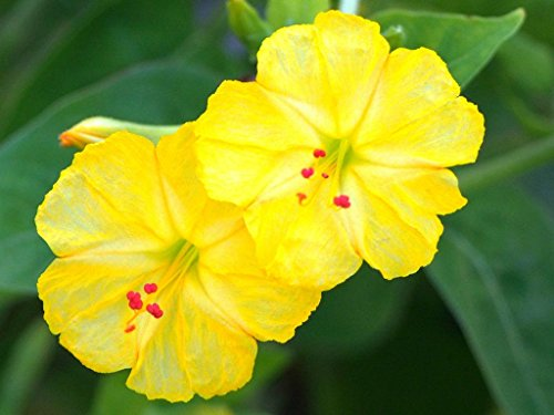 YELLOW Mirabilis Jalapa four oclock fragrant flowering succulent seed 5 seeds