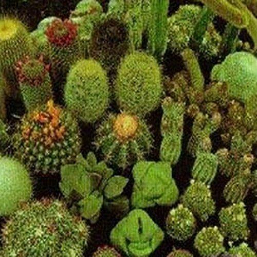 Cactus Mix- 25 Seeds