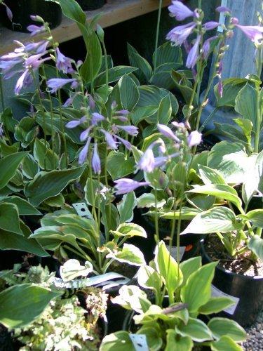 Hosta Mixquotplantatain Lily&quot Shade Loving  25perennial Seeds