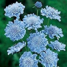 25 Light Blue Pincushion Flower Seeds  Perennial