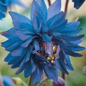 30 Aquilegia Blue Barlow Flower Seeds  Perennial