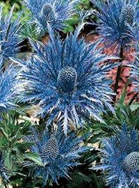 30 Metalic Blue Sea Holly Flower Seeds  Eryngium  Perennial