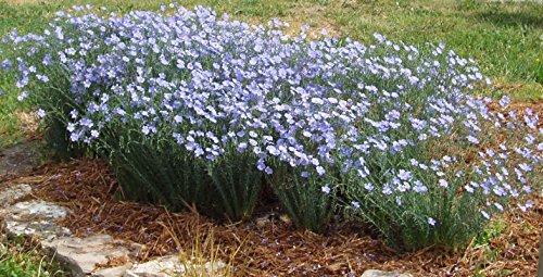 Flax Seeds - BLUE - Perennial Herb Wildflower - MEDICINAL - 50 Seeds
