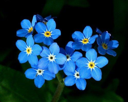 Heirloom 400 Seeds Forget Me Not Myosotis Alpestris Sea Sky Blue Perennial Garden Flower