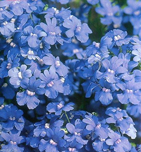 Nemesia Seeds - Blue Gem - Nemesia Strumosa - A true blue perennial