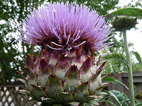 VCAR~BIANCO AVORIO CARDOON~Seeds~~~Perennial HerbVeg