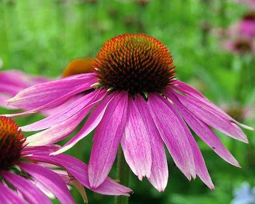 100 ORGANIC Echinacea Purpurea Purple Coneflower Seeds Healthy Perennial Herb