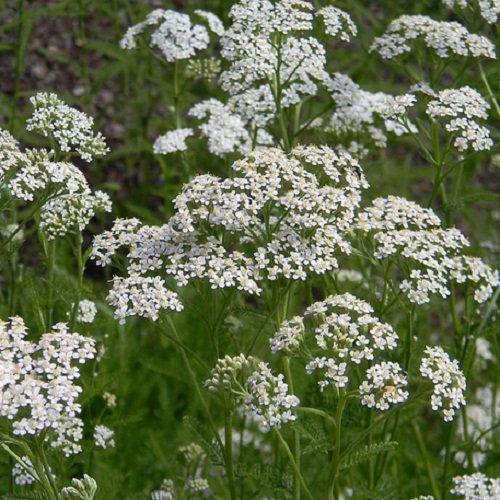 50 Seeds of Achillea Millefolium - White Yarrow Perennial Herb Grows 3 Feet Tall