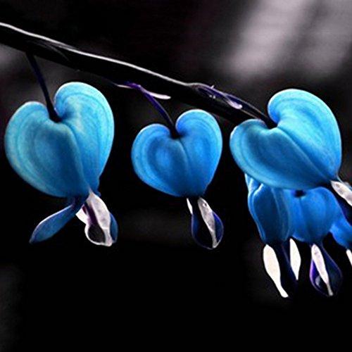 PandaBiu161810PCS Perennial Herbs Dicentra Spectabilis Flower Plant Bleeding Heart Seeds blue