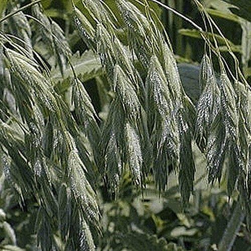 Everwilde Farms - 1000 Prairie Brome Native Grass Seeds - Gold Vault Jumbo Seed Packet
