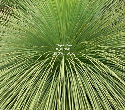 Xanthorrhoea Australis Seeds Grass Australian Native Drought Tolerant Xeriscape