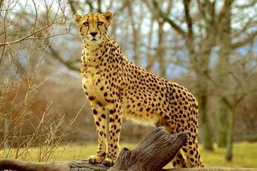 CURONG Cheetah Gaze Art Print on CanvasWall Decor Poster 24x36 inches