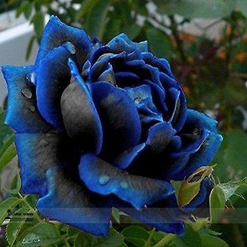 Professional Pack 50 Seeds  Packnew Midnight Supreme Rose Bush Flower Seeds