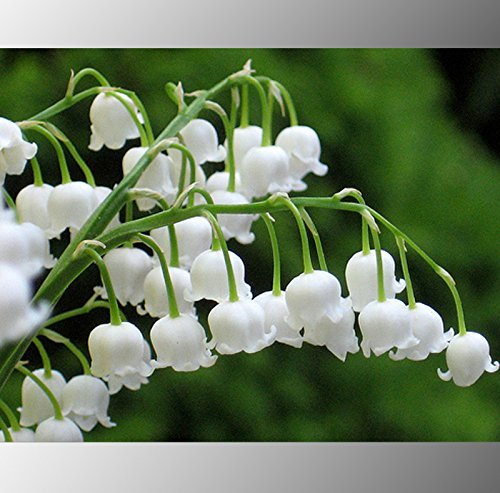 White Lily D Ambizu Heirloom White Lily of the Valley Convallaria Majalis Perennial Flower Seeds Professional Pack 50 Seeds