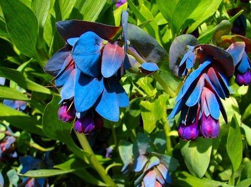 25 Blue Shrimp Pride Of Gibraltar Flower Seeds  Cerinthe  Perennial