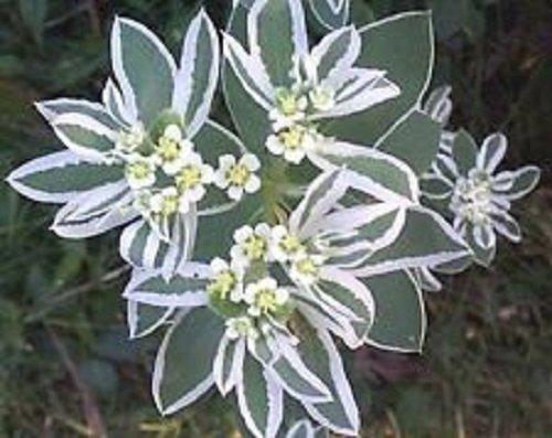 30 Snow On The Mountain Flower Seeds  Euphorbia  Perennial