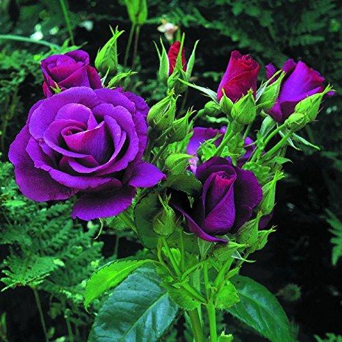 5 PURPLE ROSE Rosa Bush Shrub Perennial Flower Seeds  Gift Comb SH