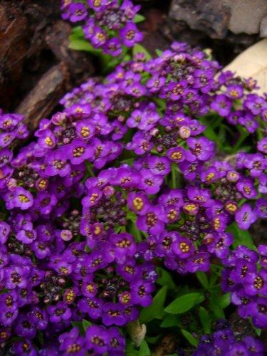60 Violet Queen Sweet Fragrant Alyssum Perennial Flower Seeds