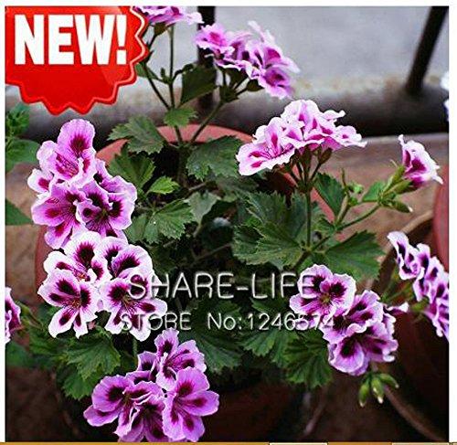 KCmart Hot Sale 20 PCS Rare Queling Purple Univalve Geranium Seeds Perennial Flower Seeds Pelargonium Peltatum Seeds for Indoor Homes
