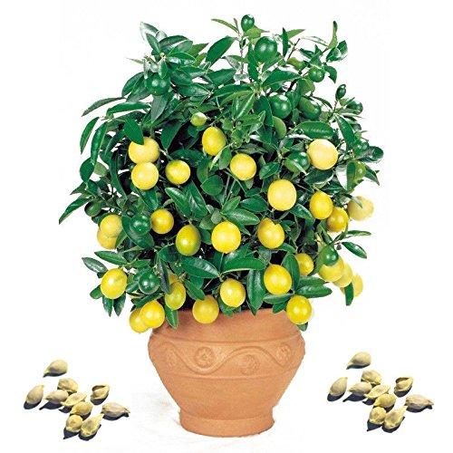 100 Pcs Rare Lemon Tree Seed Indoor Outdoor Heirloom Fruit Plant Seeds Home Garden