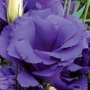 20 Blue Echo Lisianthus Annual Flower Seeds  Long Lasting