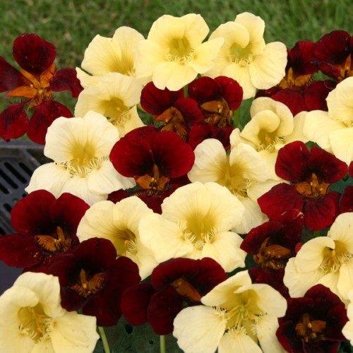 25 Nasturtium Night And Day Flower Seeds Mix  Self-seeding Annual