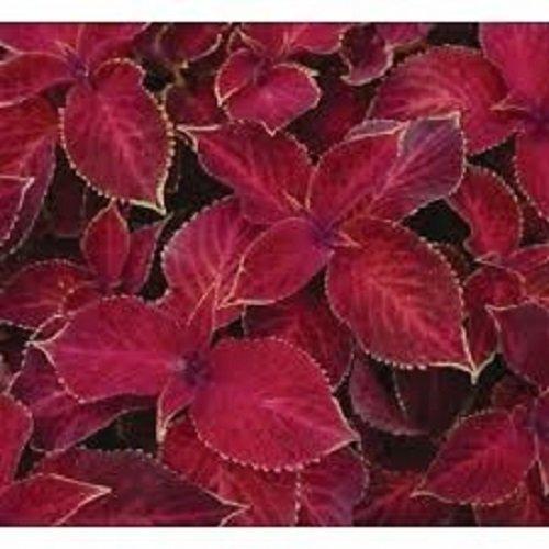 50 Coleus Wizard Scarlet Flower Seeds  Annual