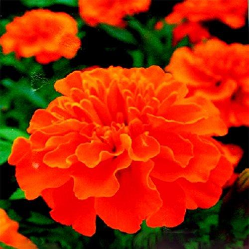 ADB Inc Tagetes Patula Orange French Marigold Annual Flower Seeds