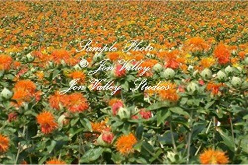 Carthamus tinctorius Safflower 200 Seeds Annual Flower Seed wildflower Bright orange-yellow drought tolerant deck garden bedding plant