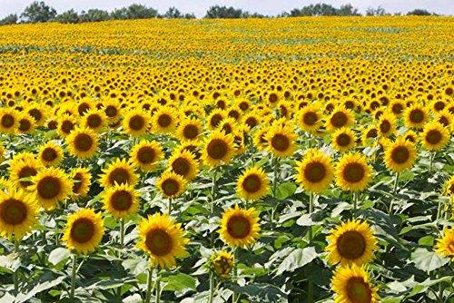 Heirloom 50 Annual Flower Seeds - Sunflowers - Black Oil Great For Birdseed