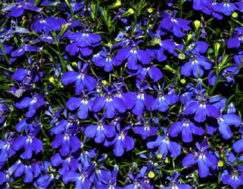 Lobelia hamburgia lobelia Erinus L Flower Plant Seeds Annual Heirloom