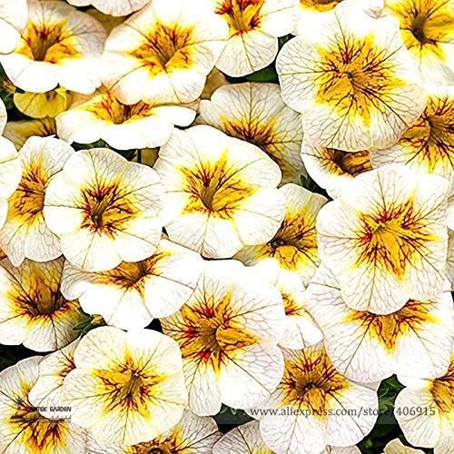 Rare Superbells Frostfire Calibrachoa Petunia Annual Flower Seeds Professional Pack 100 Seeds  Pack Large