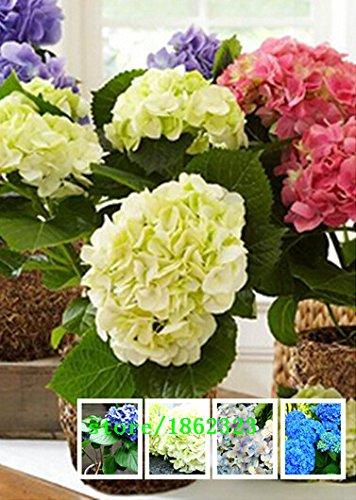 100 seedsbag Hydrangea flower seeds potted geraniums balcony hydrangea indoor plants seeds Yi kinds 10