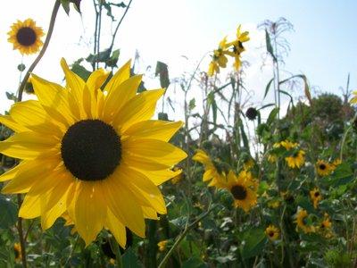 Davids Garden Seeds Sunflower Beach Tall Branching D05315 yellow 50 Organic Seeds