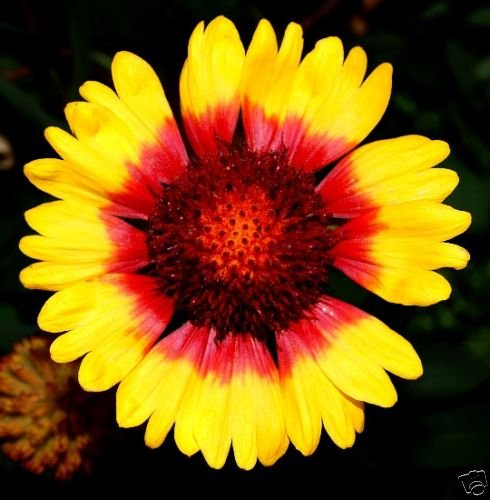 Gaillardia Indian Blanket Nice Garden Flower 1200 Seeds