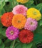 Zinnia California Giant Mix Nice Garden Flower By Seed Kingdom BULK 1 Lb Seeds