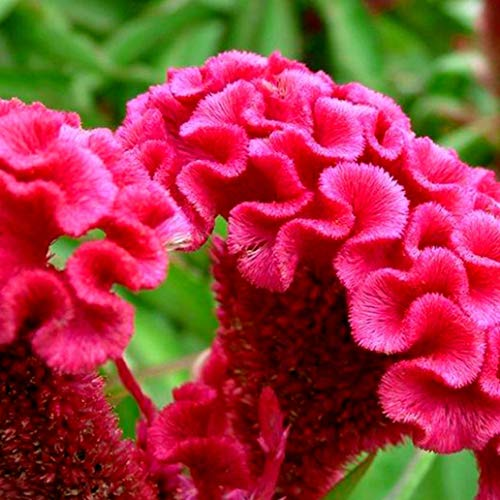100 Pcs Mix Color Celosia Crested Cockscomb Seeds Garden Easy Growing Flower Vividly