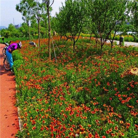 100 Seeds Beautiful Indian Blanket Flower Seeds Gaillardia Aristatdrought toleranteasy-growing