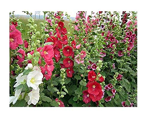Alcea rosea Spring Mix Hollyhock Seeds Annual Flowers from Ukraine 05 Gram