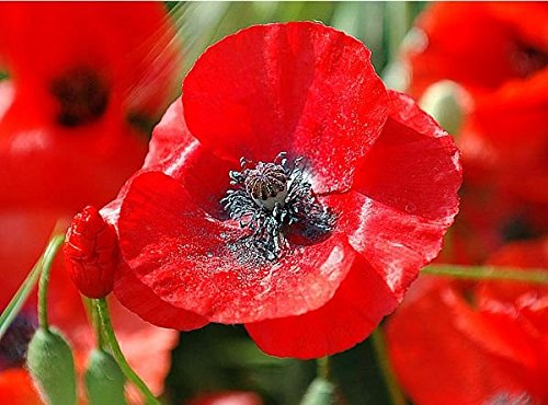 200 Red Corn Poppy Flower Seeds Papaver Rhoeas Rare Easy To Grow And Beautiful From Usa