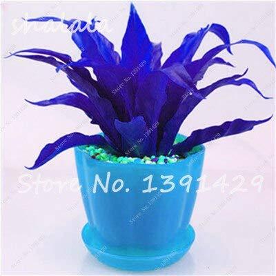 13  100 Pcs Perennial Flower Seeds Goose Palm Vine Seeds Goose Rattan Bonsai Plant Garden Flowers Seeds The Germination Rate 95