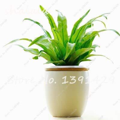 4  100 Pcs Perennial Flower Seeds Goose Palm Vine Seeds Goose Rattan Bonsai Plant Garden Flowers Seeds The Germination Rate 95