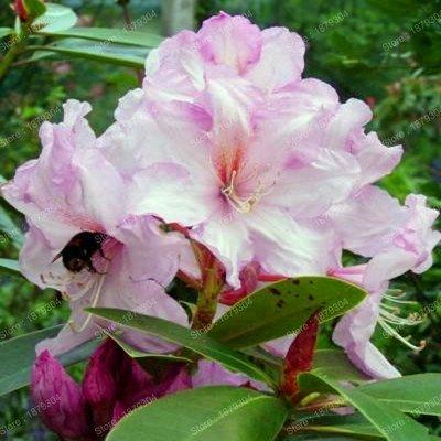 Hot Fresh rhododendron seedsbeautiful garden plant bonsai rare flower seeds the germination rate 95 200pcsbag